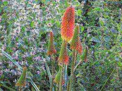 Как вырастить цветок книфофия в открытом грунте из семян
