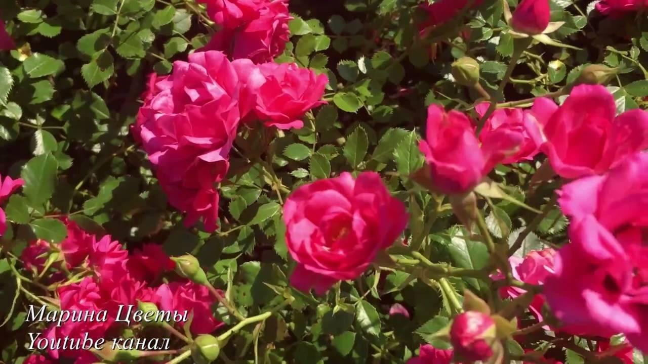 Описание сортов кустовых роз, правила посадки и ухода в открытом грунте