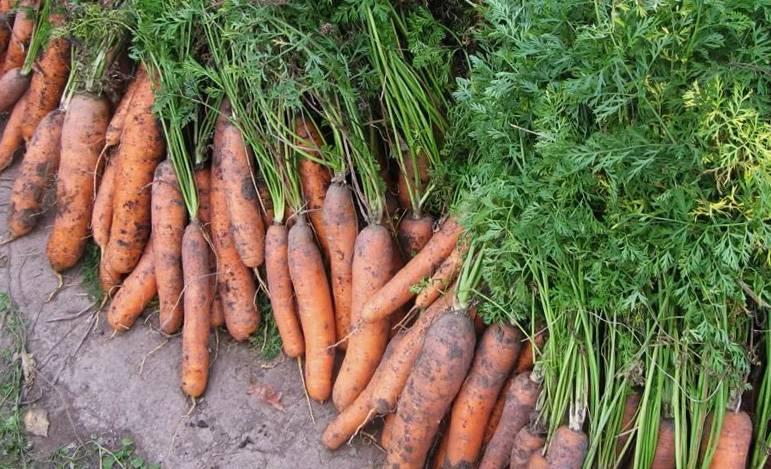 Почему желтеет морковь на грядке: что делать, причины
