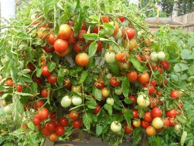 Хорошие сорта помидор на засолку