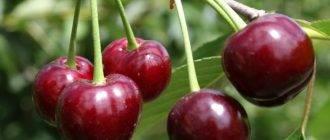 Характеристика и описание вишни «малиновка»
