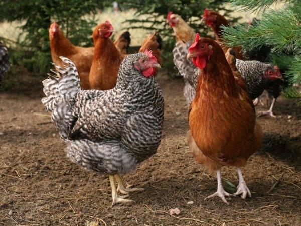 3 лучших метода, как определить несется домашняя курица или нет