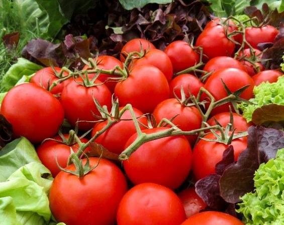 Описание сорта томата хуго, его характеристика и урожайность