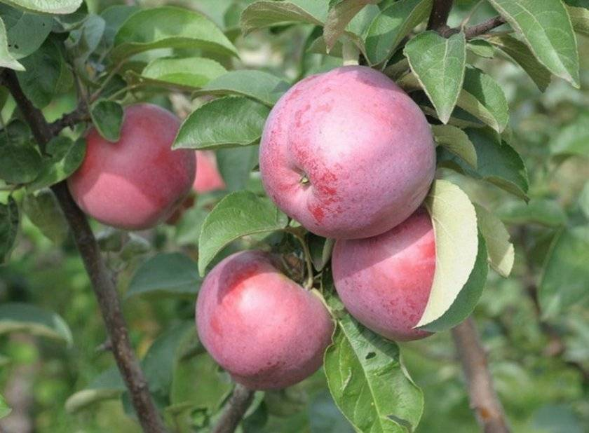 Яблоня родниковая — описание сорта, фото, отзывы