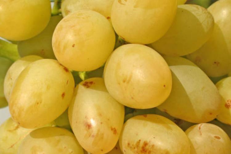 Особенности винограда «граф монте-кристо»