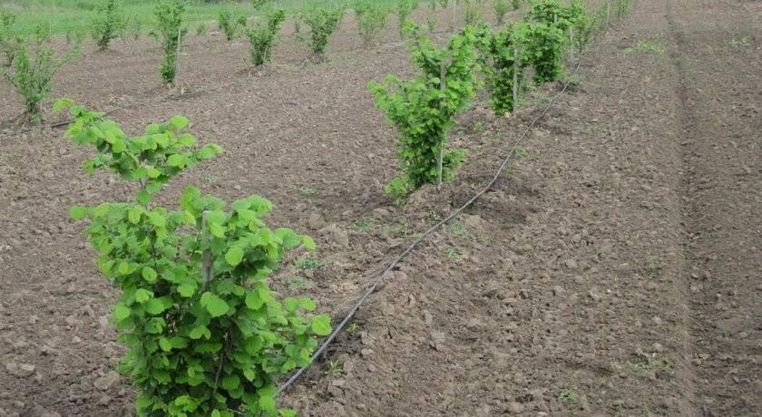 Выращивание фундука трапезунд