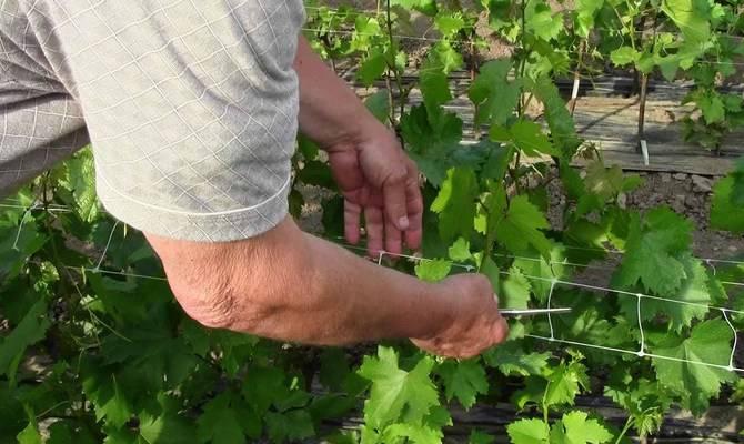 Описание винограда сорта «ланселот»: характеристики, фото, видео, отзывы