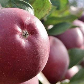 Яблоня серебряное копытце – 8 особенностей и 10 советов по посадке и уходу