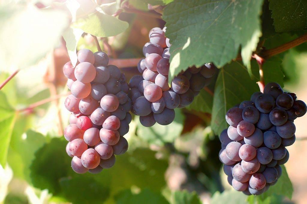 Виноград с итальянским именем — «лорано»
