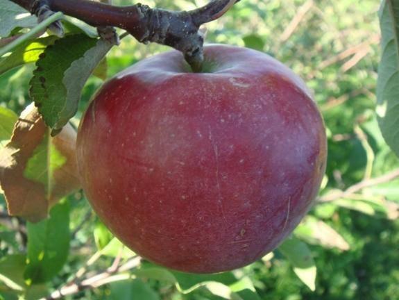 Яблоки спартан — посадка и уход