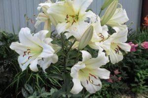 Лилии: выращивание, посадка, уход, сорта