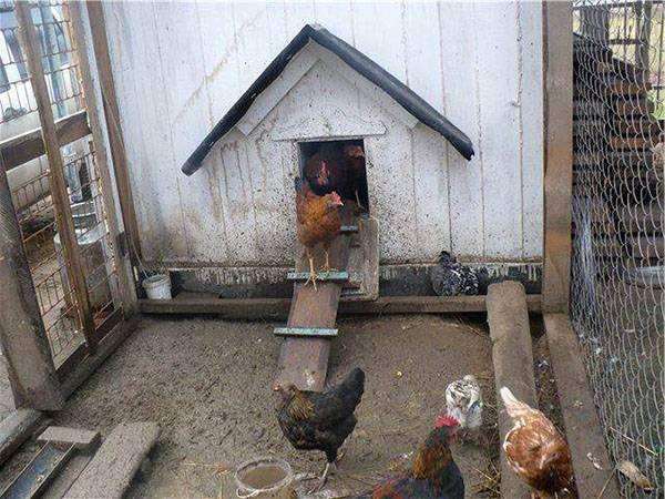 Кормление кур несушек в домашних условиях зимой