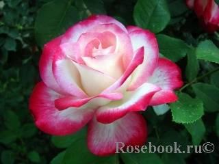 Роза юбилей принца монако (jubile du prince de monaco) — что это за сорт