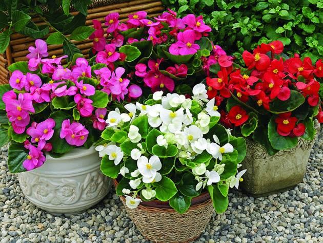 Бегония махровая — очаровательный и чувствительный цветок