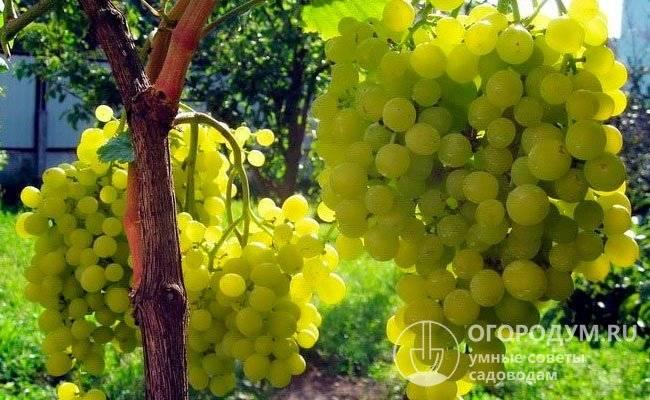 Особенности винограда алешенькин, посадка и уход