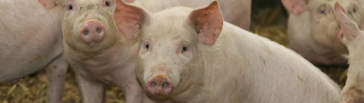 Искусственное оплодотворение свиней: методы, технологии, подготовка свиноматки