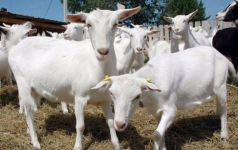 Причины возникновения мастита у коров, симптомы и виды. лечение недуга