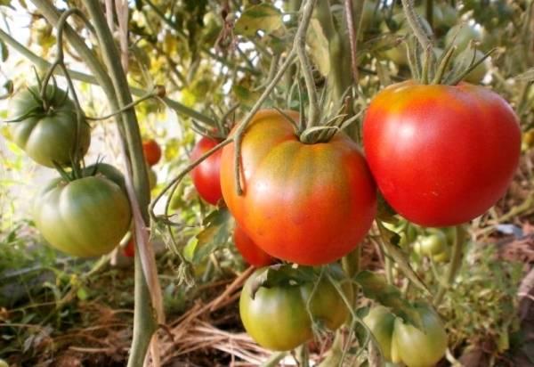 Томат намиб: описание и характеристика сорта, выращивание и уход с фото