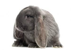 Описание и содержание кроликов породы французский баран