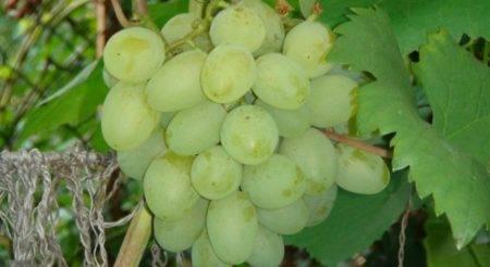 Сорт винограда алешенькин дар (алеша, алешин, №328)