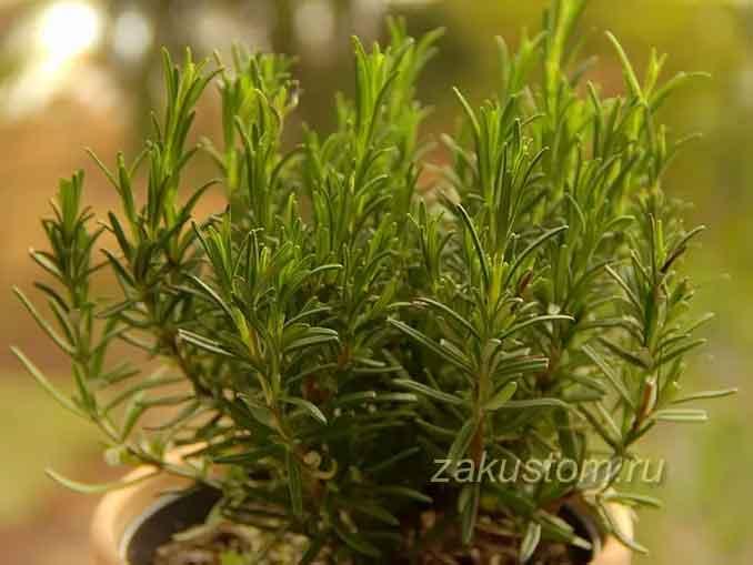 Выращивание розмарина из семян в домашних условиях
