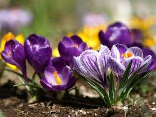 Крокусы – выращивание в саду