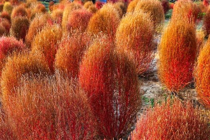 Величественный клопогон: посадка и уход в открытом грунте, техника выращивания и способы размножения