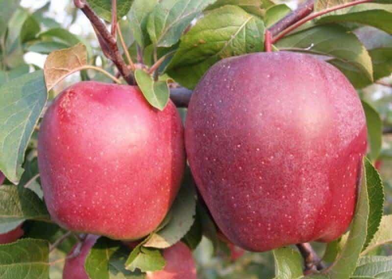 Описание и характеристики яблони сорта Моди, урожайность, посадка и уход
