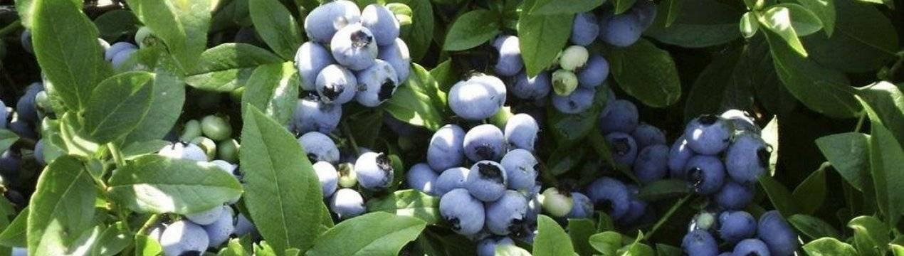 5 ошибок при выращивании голубики, которые лишают вас урожая