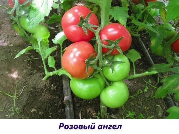 Сорт помидор «розовая жемчужина»: фото, отзывы, описание, характеристика, урожайность