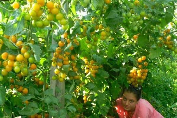 Описание сорта томата Саммер Сан, его характеристика и урожайность