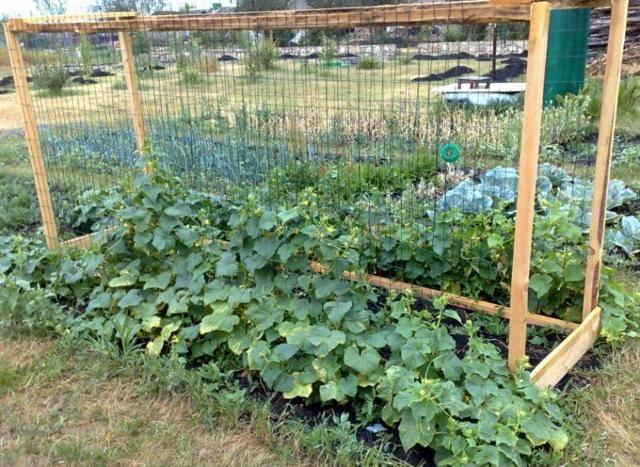 Как в открытом грунте или теплице повысить урожайность огурцов