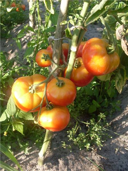Сорт томатов взрыв — описание, фото, характеристики, посадка, уход