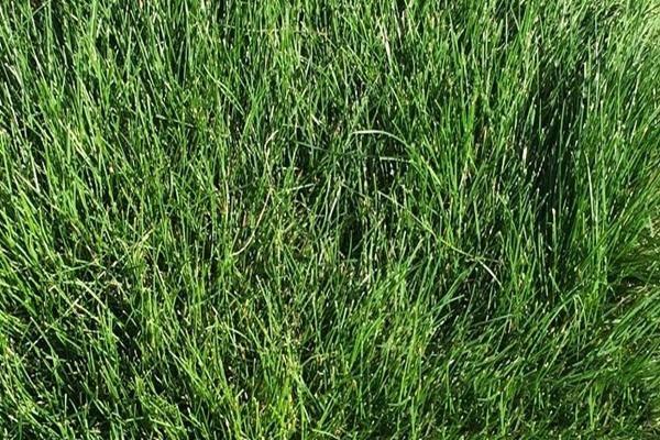 Газонная трава, которая вытесняет сорняки: выбираем и сажаем