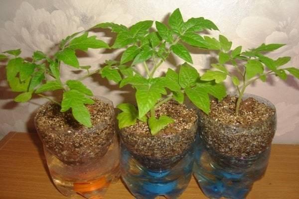 Правильная технология выращивания томатов на гидропонике в домашних условиях