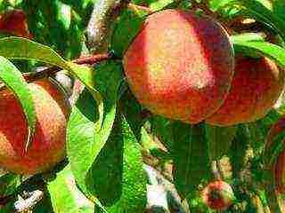 Персики в подмосковье сорта