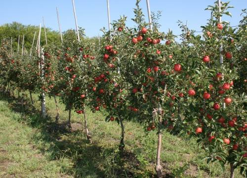 На каком расстоянии друг от друга сажать колоновидные яблони. посадка колоновидных яблонь: как сажать и формировать крону дерева.