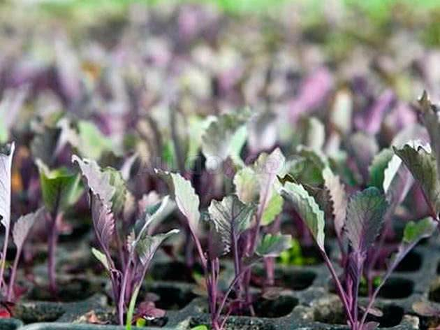 Капуста: выращивание и уход в открытом грунте