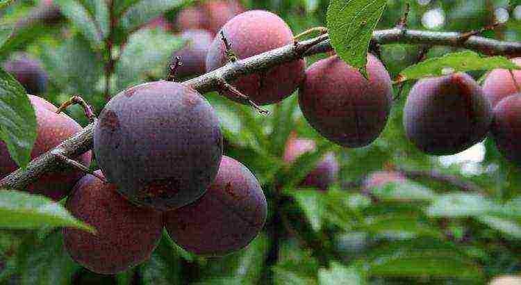 Посадка и уход за сливой в сибири, какие сорта лучше выращивать