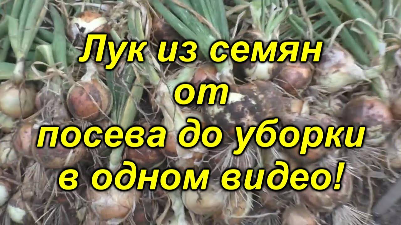 Как вырастить лук из чернушки за один сезон? практические рекомендации