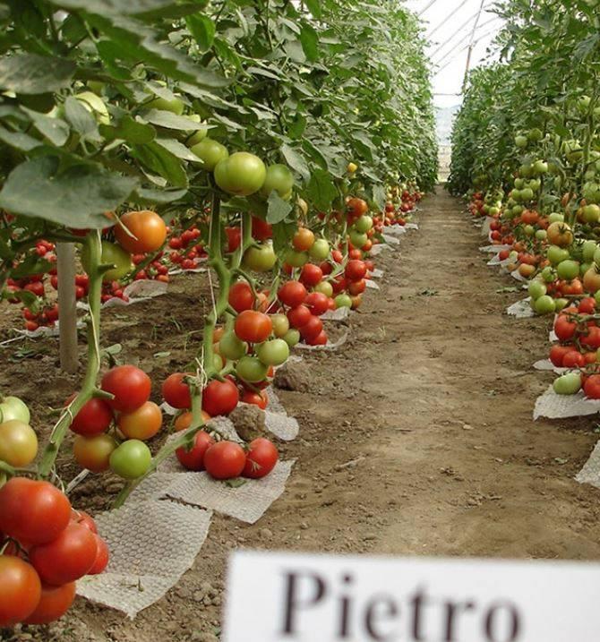 Характеристика сорта томатов «рио-гранде»