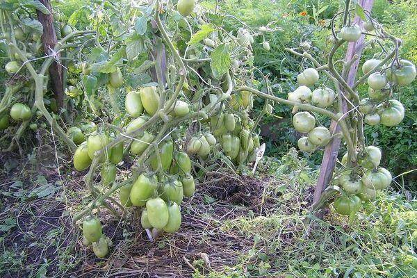 Продуктивный новичок из америки — хайнц 3402 f1: отзывы об урожайности, описание сорта