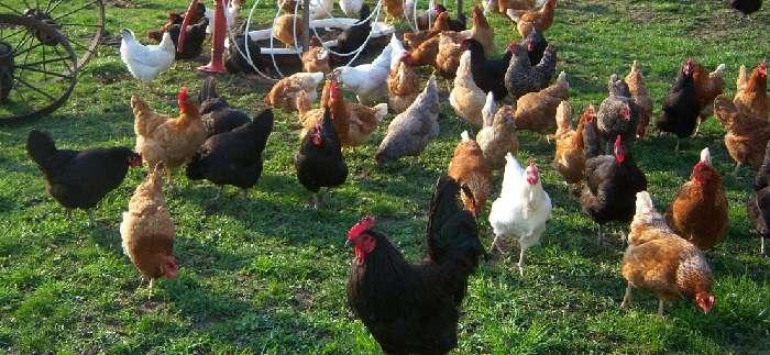 Выбираем лучшую яичную породу кур: особенности содержания и разведения