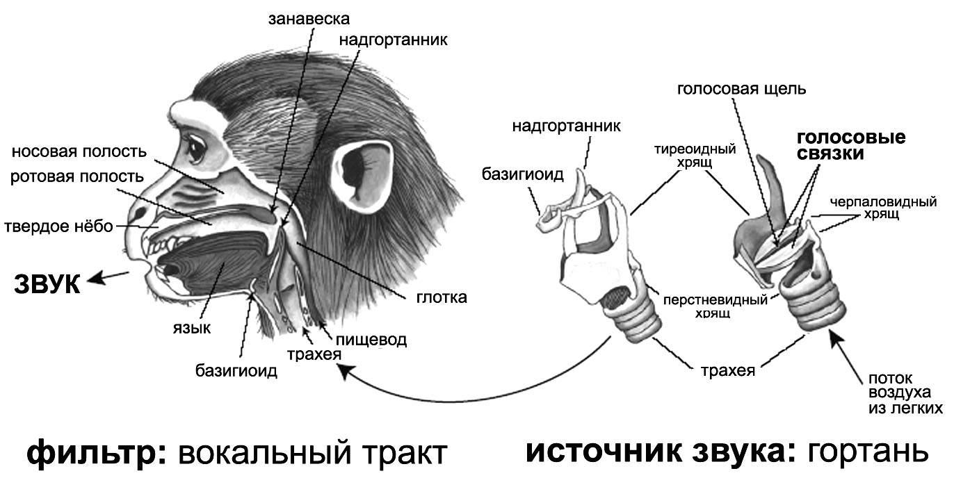 Скелет овцы: анатомия конечностей и механика движений, сколько ребер