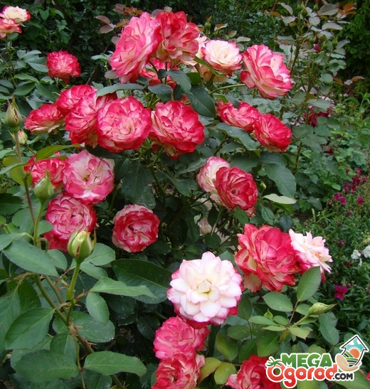 Jubile du prince de monaco — роза, совмещающая в себе лед и пламя