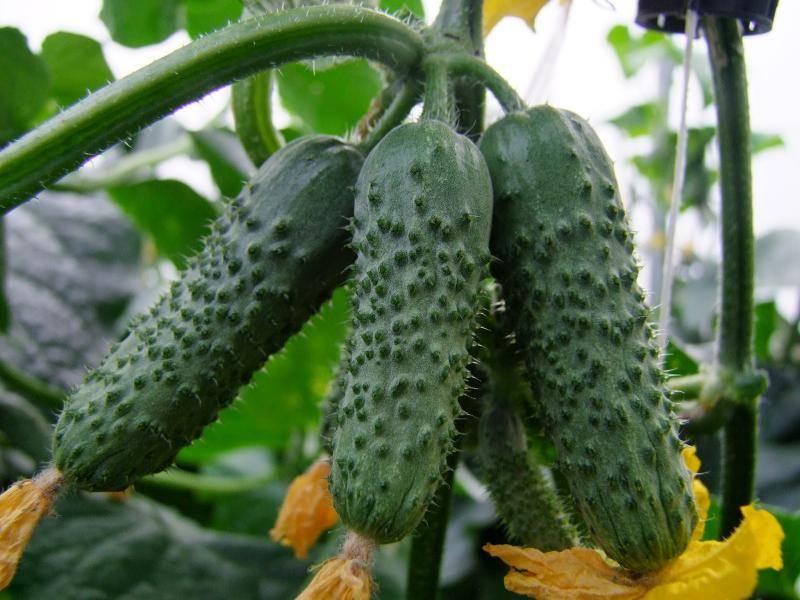 Выращивание и формирование партенокарпических огурцов, лучшие сорта