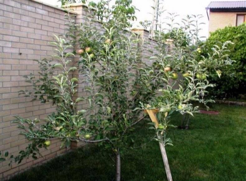 Яблоня сорта «слава победителям»: описание и правила культивирования