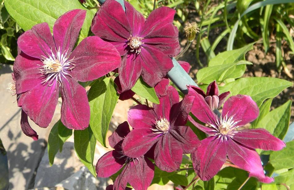 Садовые группы, виды и сорта клематисов