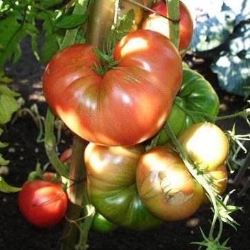 Характеристика и описание сорта томата русский богатырь