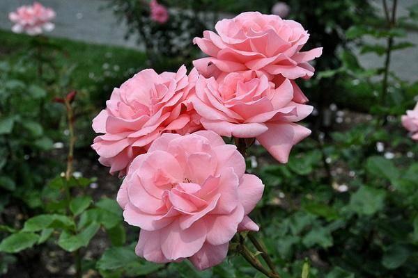 Белые плетистые розы: сорта и их выращивание